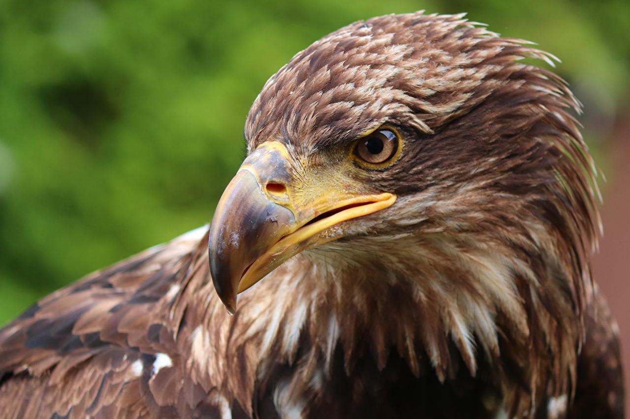 Фото орел птица Клюв головы Животные Крупным планом Орлы Птицы вблизи Голова животное