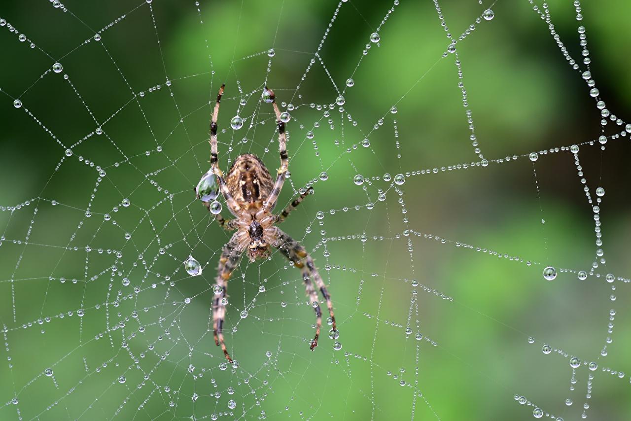 Фото Пауки Паутина капельки вблизи Животные паутин паутине паутиной капля Капли капель животное Крупным планом