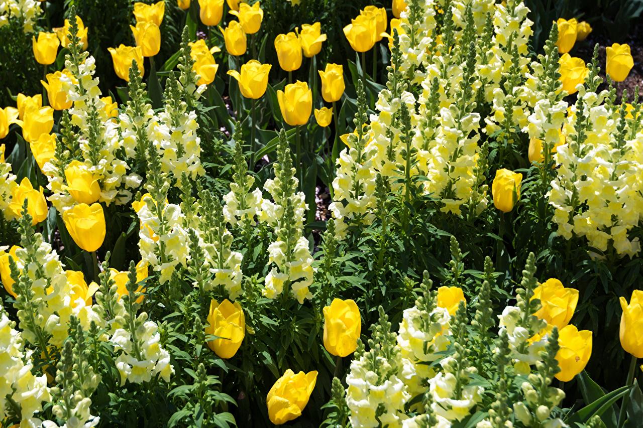 Картинки Тюльпаны Цветы Львиный зев Крупным планом Антирринум вблизи