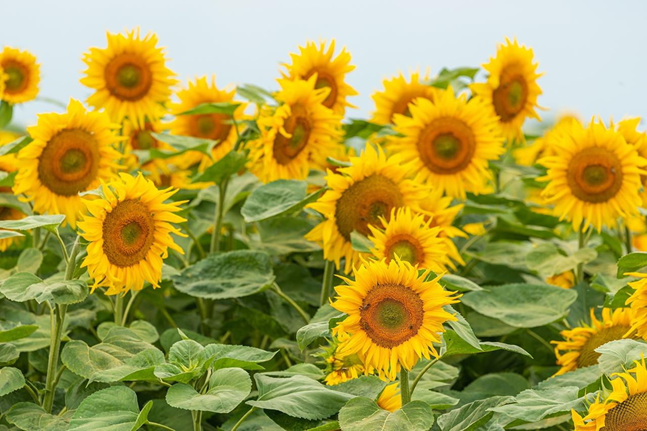 Картинки желтая Поля цветок Подсолнухи Много Желтый желтые желтых Цветы Подсолнечник