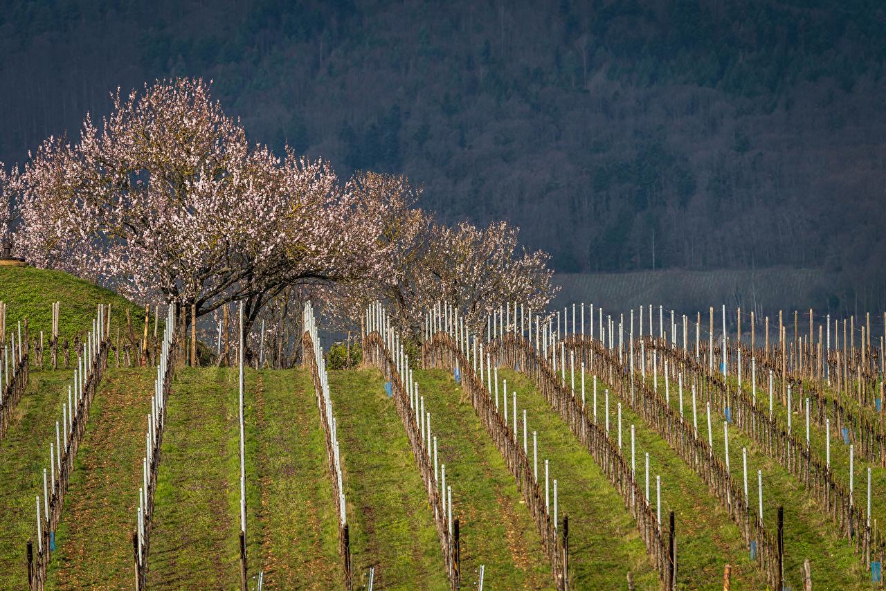 Фото Франция Mittelwihr Весна Природа Поля Цветущие деревья весенние