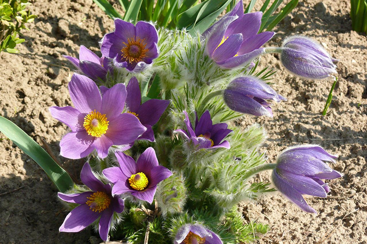Картинки фиолетовых Цветы Прострел Крупным планом Фиолетовый фиолетовые фиолетовая цветок вблизи