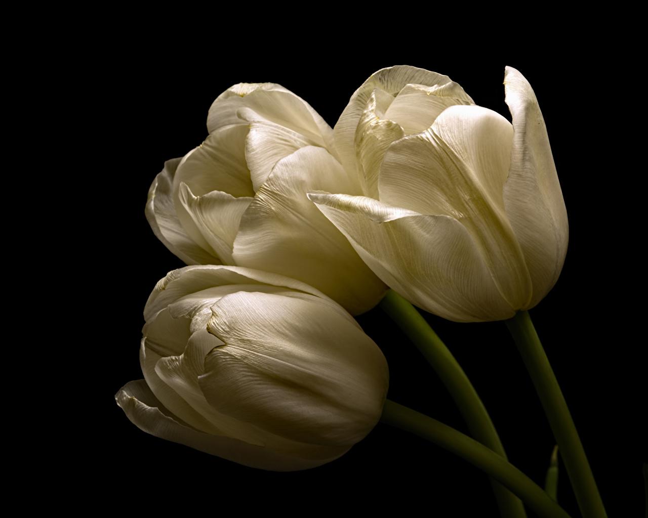 Фотография белые тюльпан Цветы Трое 3 вблизи Черный фон белых Белый белая Тюльпаны цветок три втроем на черном фоне Крупным планом