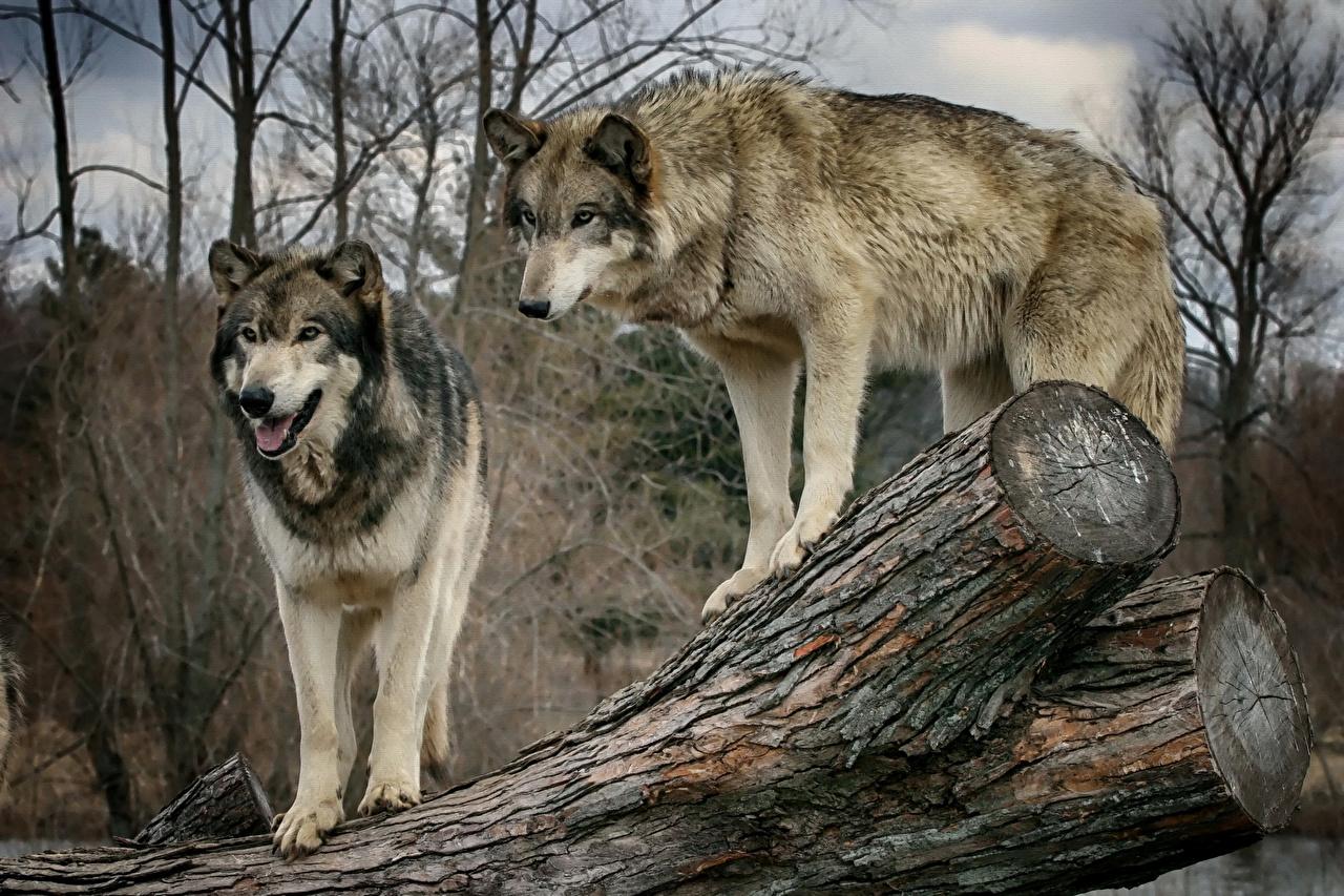 Картинка Волки два Ствол дерева Животные волк 2 две Двое вдвоем животное