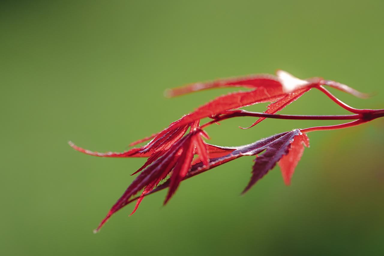 Картинки Листья Размытый фон Клён красные Природа Крупным планом лист Листва боке клёна клёновый красная Красный красных вблизи