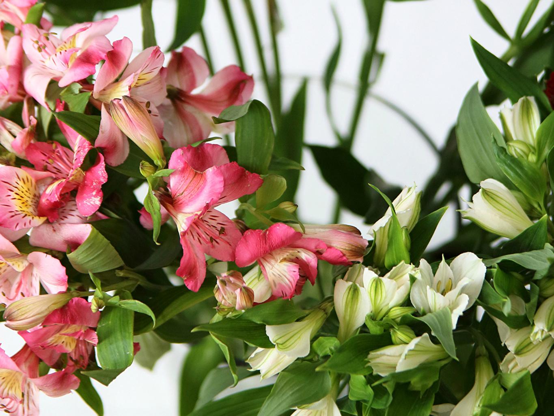 Обои для рабочего стола Цветы Альстрёмерия Крупным планом цветок вблизи