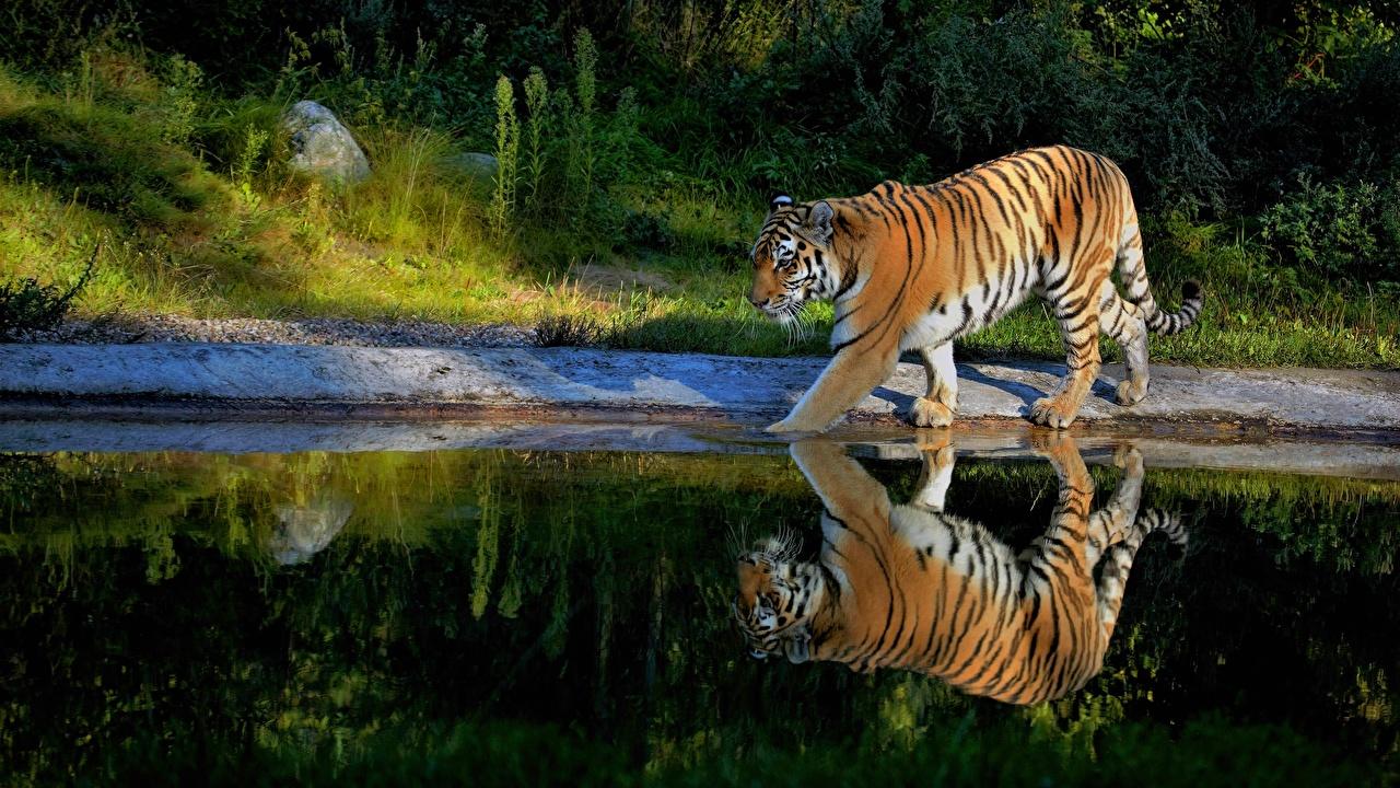 Картинки Тигры Пруд Отражение животное тигр отражении отражается Животные
