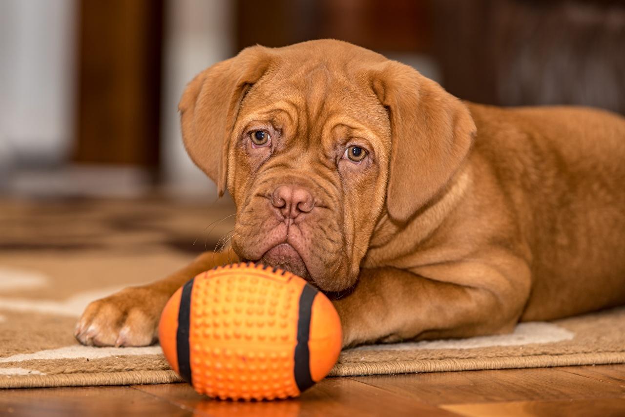 Фото щенков Бордоский дог Собаки лежачие Коричневый Мяч Взгляд животное щенка Щенок щенки собака лежа Лежит лежат коричневая коричневые Мячик смотрит смотрят Животные