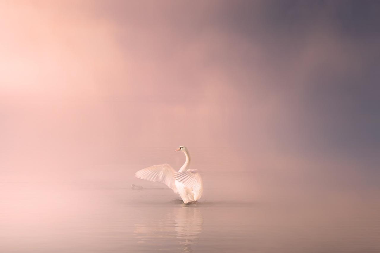 Картинки Птицы Лебеди тумана белых животное птица лебедь Туман тумане белая белые Белый Животные