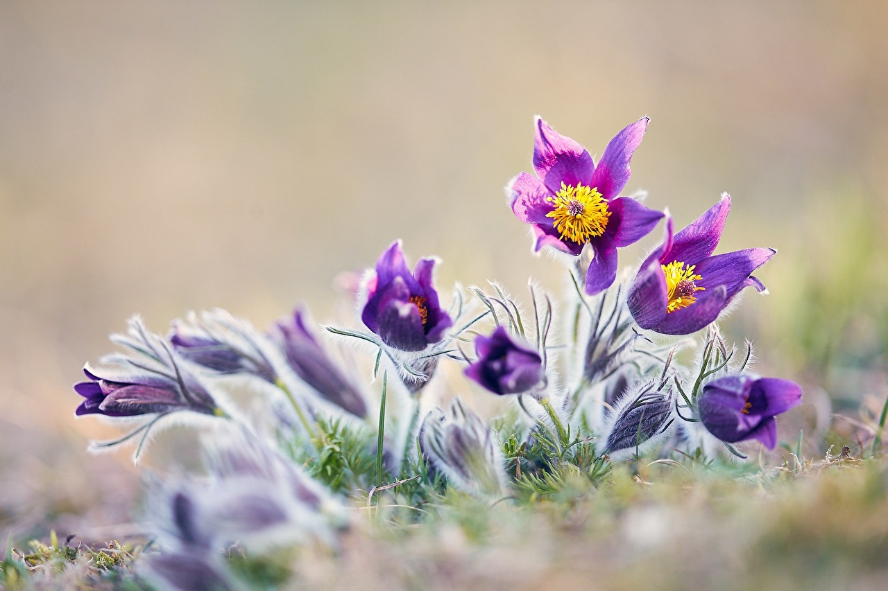Фото Цветы Прострел вблизи цветок Крупным планом