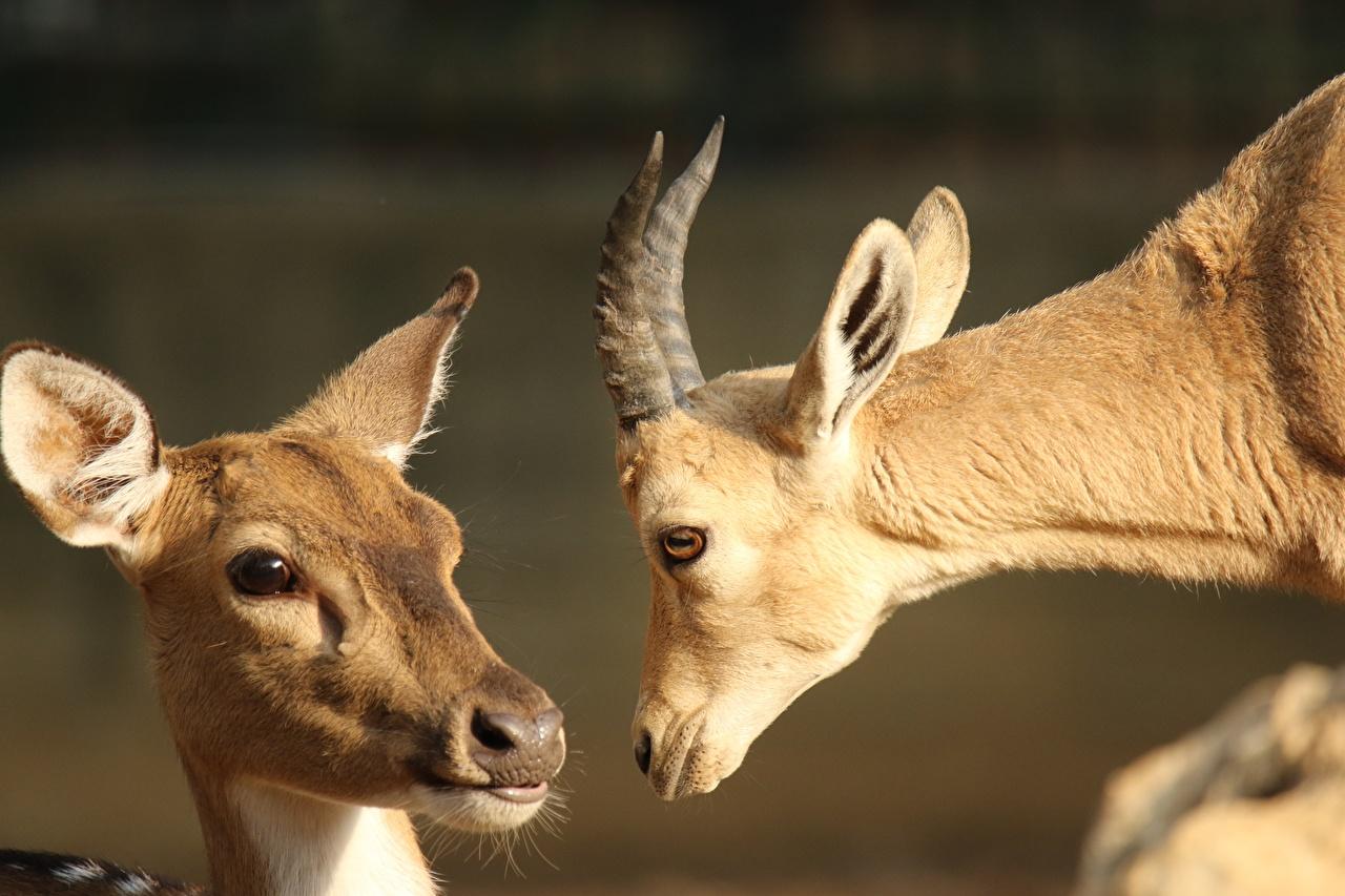 Обои для рабочего стола Олени Овцы с рогами 2 вблизи Голова смотрит Животные Рога две два Двое вдвоем головы Взгляд смотрят животное Крупным планом
