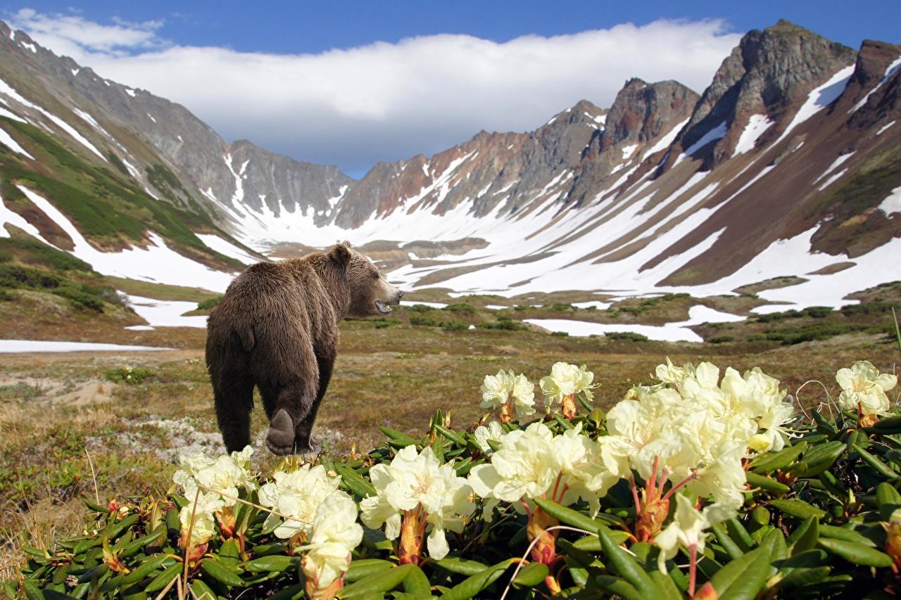 Картинки Гризли Камчатка Россия Медведи Kronotsky Nature Reserve гора Сзади Животные Бурые Медведи медведь Горы вид сзади животное