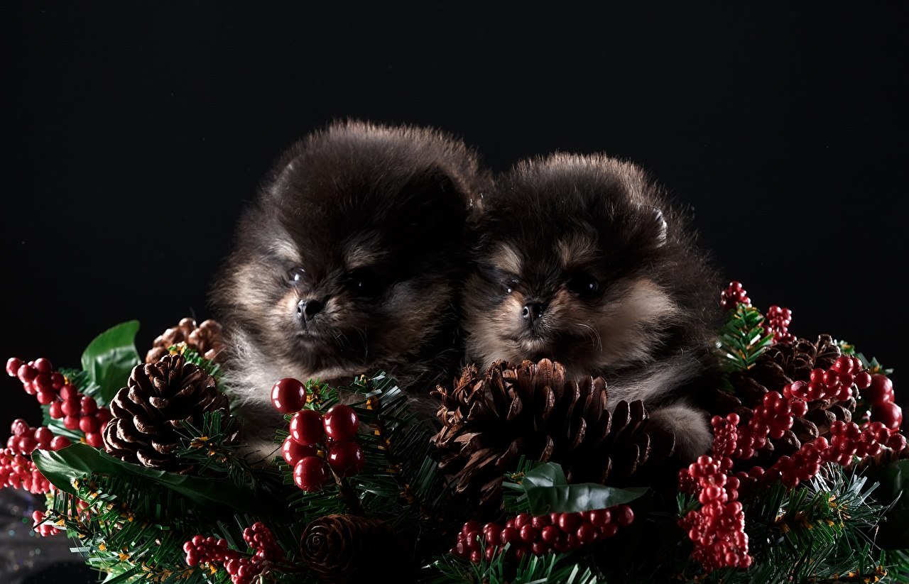 Фотографии шпицев Собаки Двое Шишки Животные Черный фон Шпиц шпица 2 два две вдвоем шишка на черном фоне