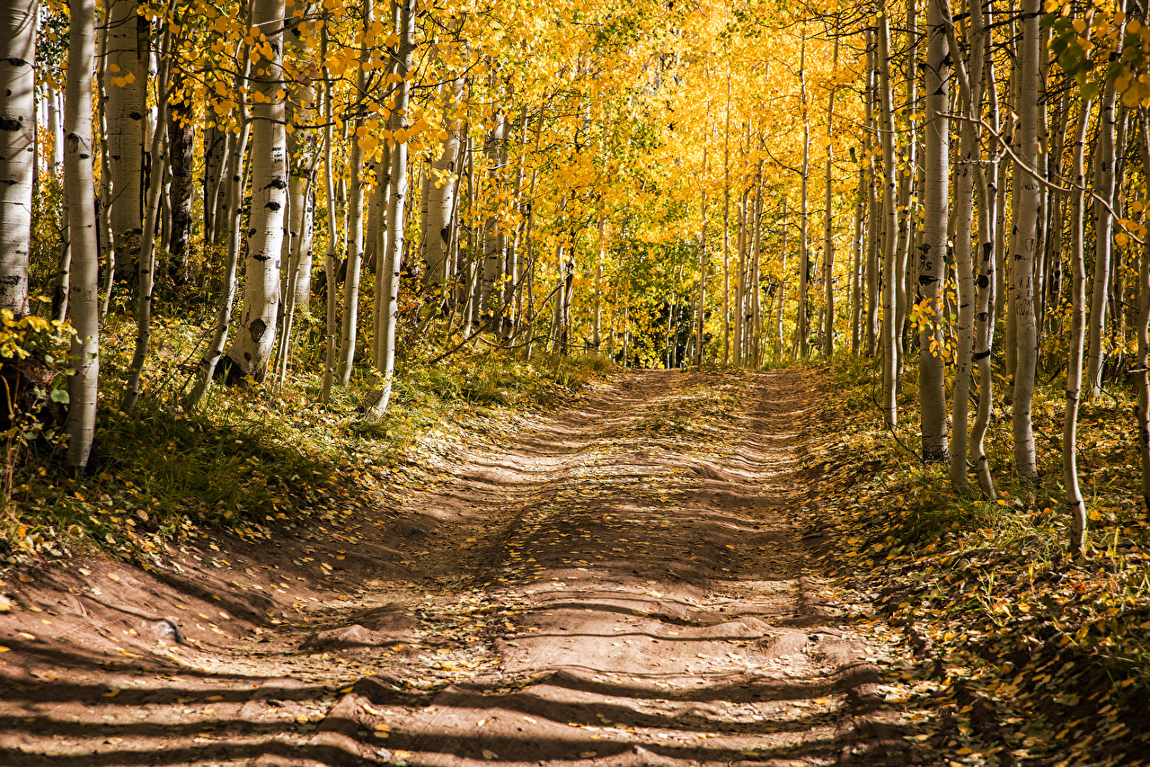 Обои для рабочего стола США Aspen, Colorado Осень береза Природа Леса Дороги деревьев штаты америка Березы осенние лес дерево дерева Деревья