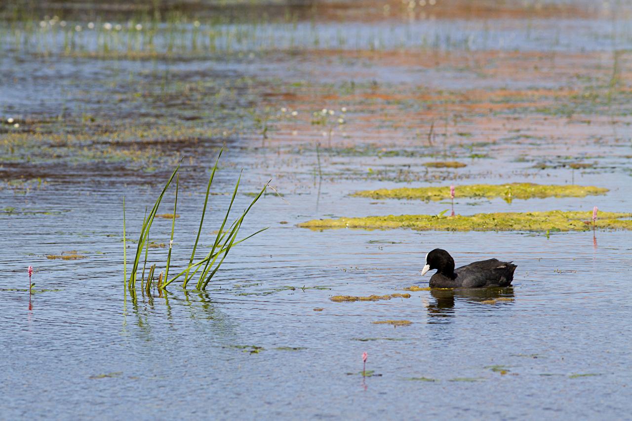 Картинка утка Птицы Озеро воде животное Утки птица Вода Животные