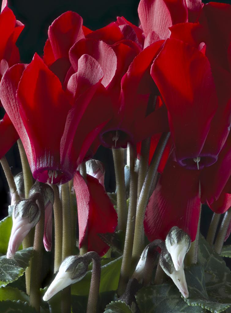 Картинки Красный Цветы Цикламен Бутон вблизи Дряква Крупным планом
