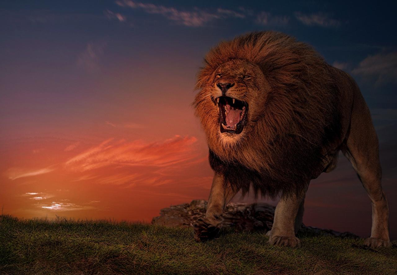 Обои для рабочего стола лев злой Вечер животное Львы рычит Оскал злость Животные