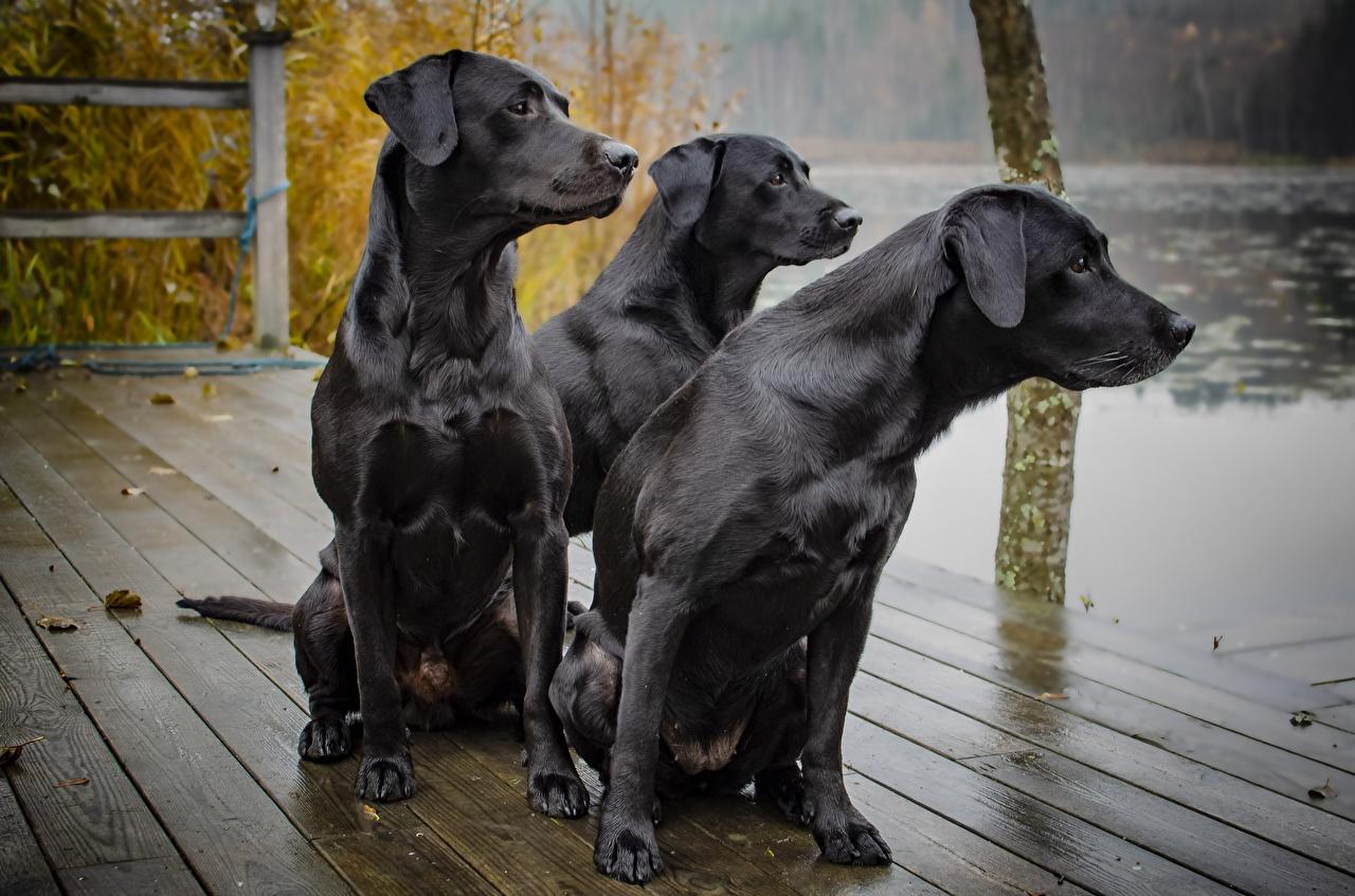 Фотография Собаки labrador Черный втроем сидящие смотрит Животные Сидит Трое 3 Взгляд