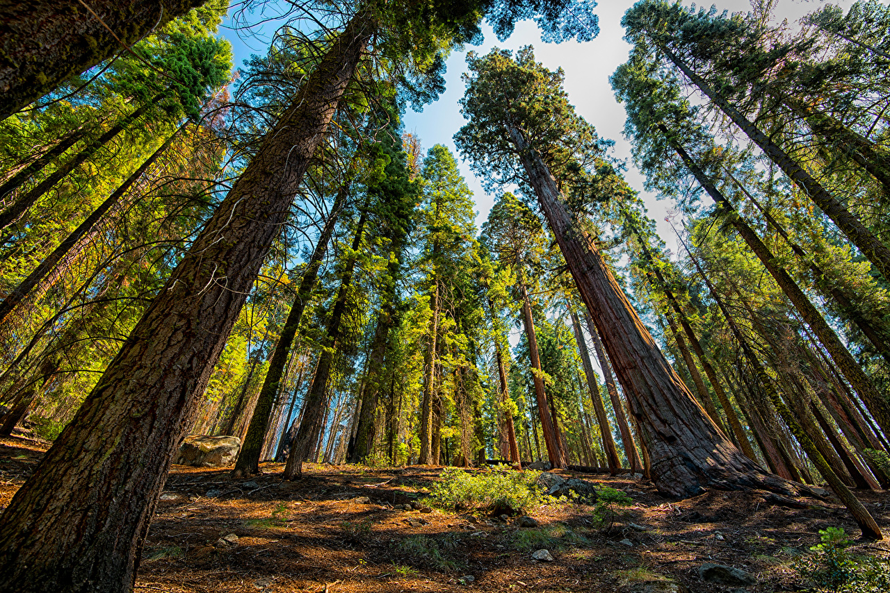 США Парки Sequoia and Kings National Park Деревья Ствол дерева Вид снизу штаты Природа