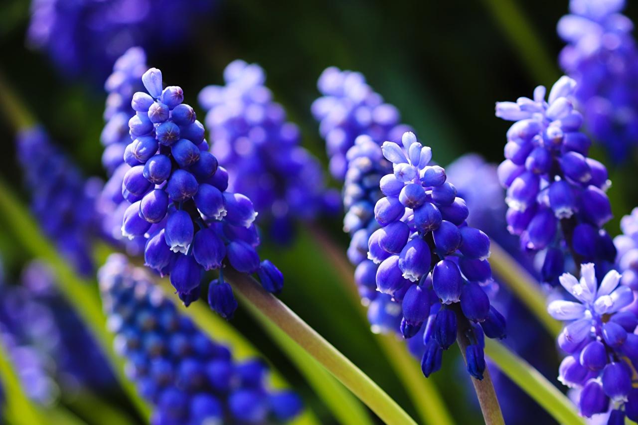 Фото Размытый фон синие Цветы Гиацинты Крупным планом боке синяя Синий синих цветок вблизи