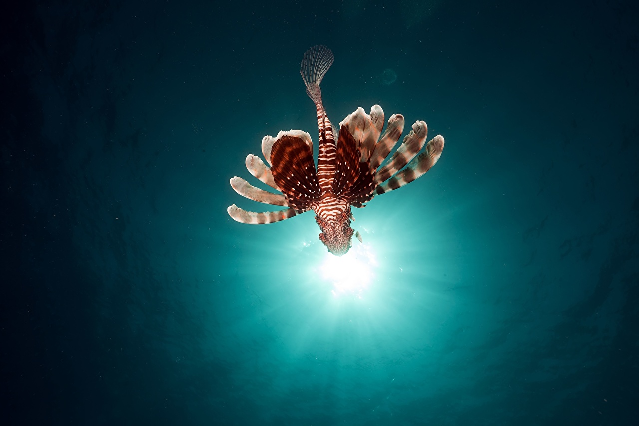 Фотография Лучи света Крылатки Рыбы Подводный мир животное крылатка Животные