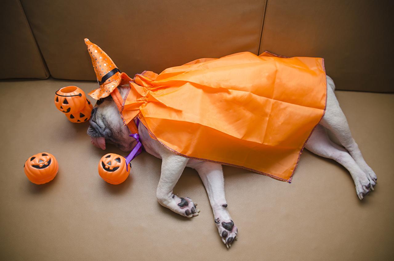 Фотография мопса Собаки спят шляпе Тыква хэллоуин Животные Мопс мопсы собака сон Спит шляпы Шляпа спящий Хеллоуин животное
