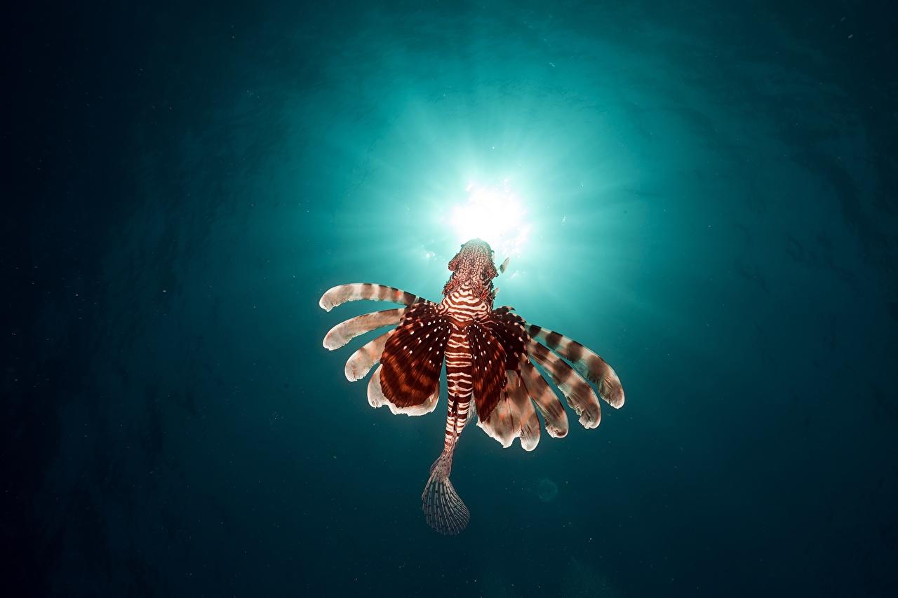 Картинки Лучи света Крылатки Рыбы Подводный мир Животные крылатка животное