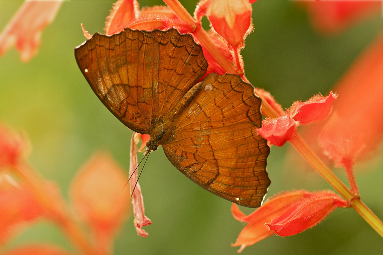 Обои для рабочего стола бабочка насекомое Животные Бабочки Насекомые животное