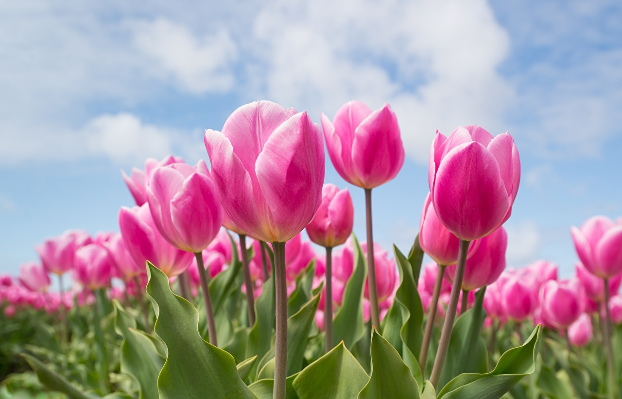 Картинка розовая Тюльпаны Поля цветок тюльпан Розовый розовые розовых Цветы