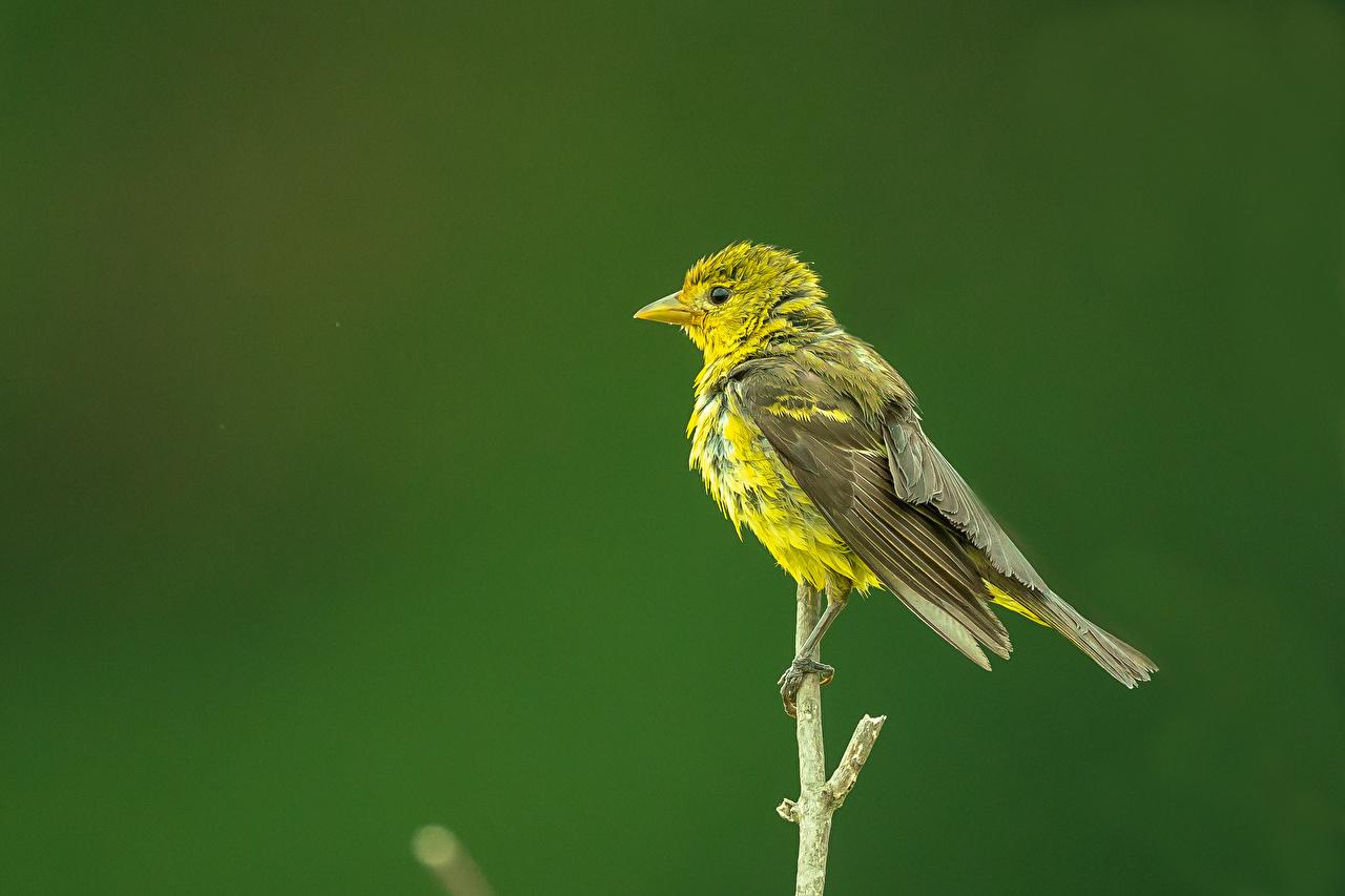 Картинки Птицы Western Tanager, female Ветки животное птица ветвь ветка на ветке Животные