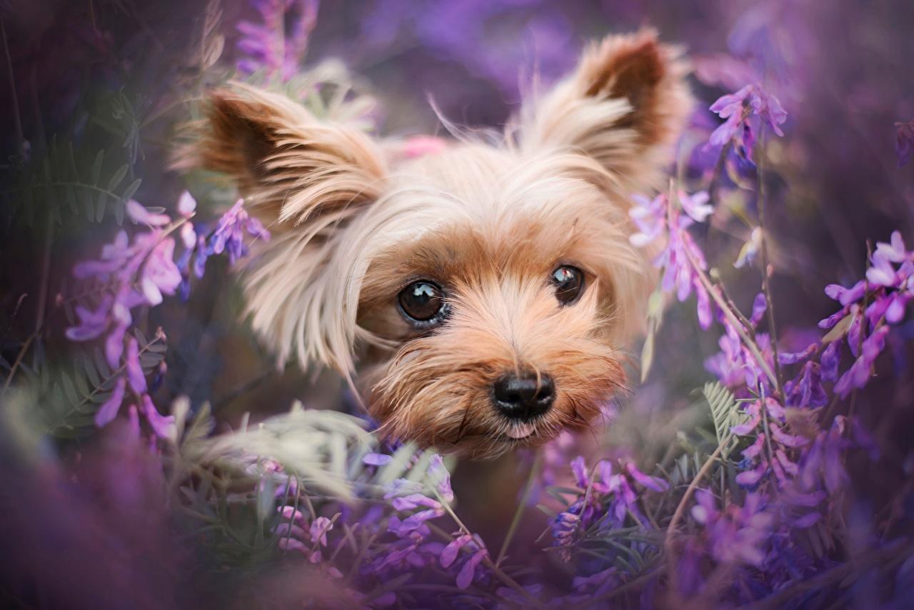 Фотографии Йоркширский терьер Собаки Милые Морда Взгляд Животные