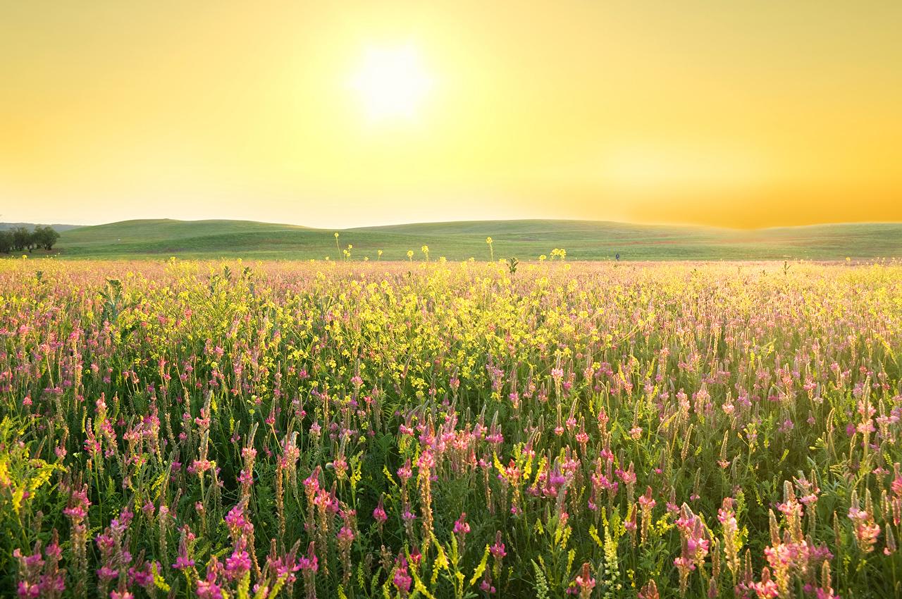 Картинка Солнце Природа Поля Люпин Лаванда