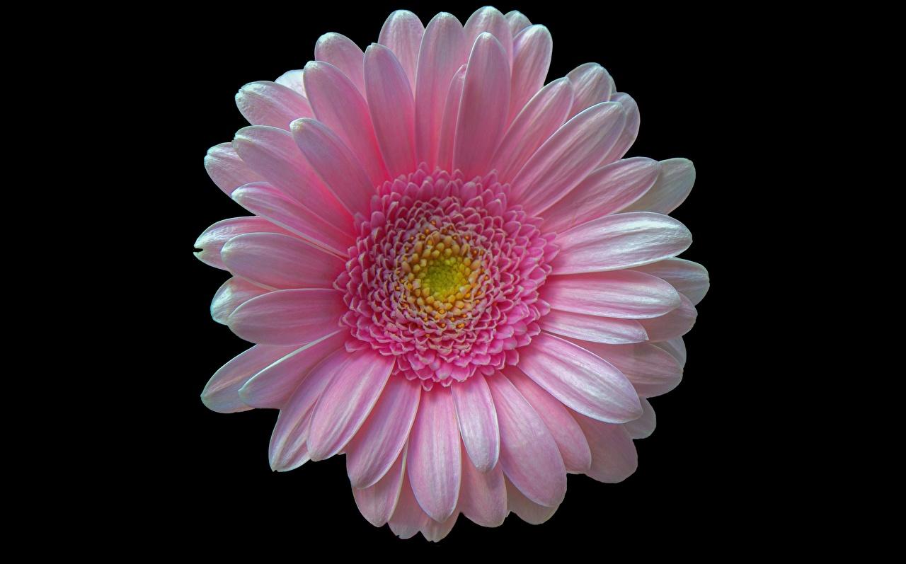 Картинка розовые Герберы Цветы на черном фоне Крупным планом розовых Розовый розовая гербера цветок вблизи Черный фон