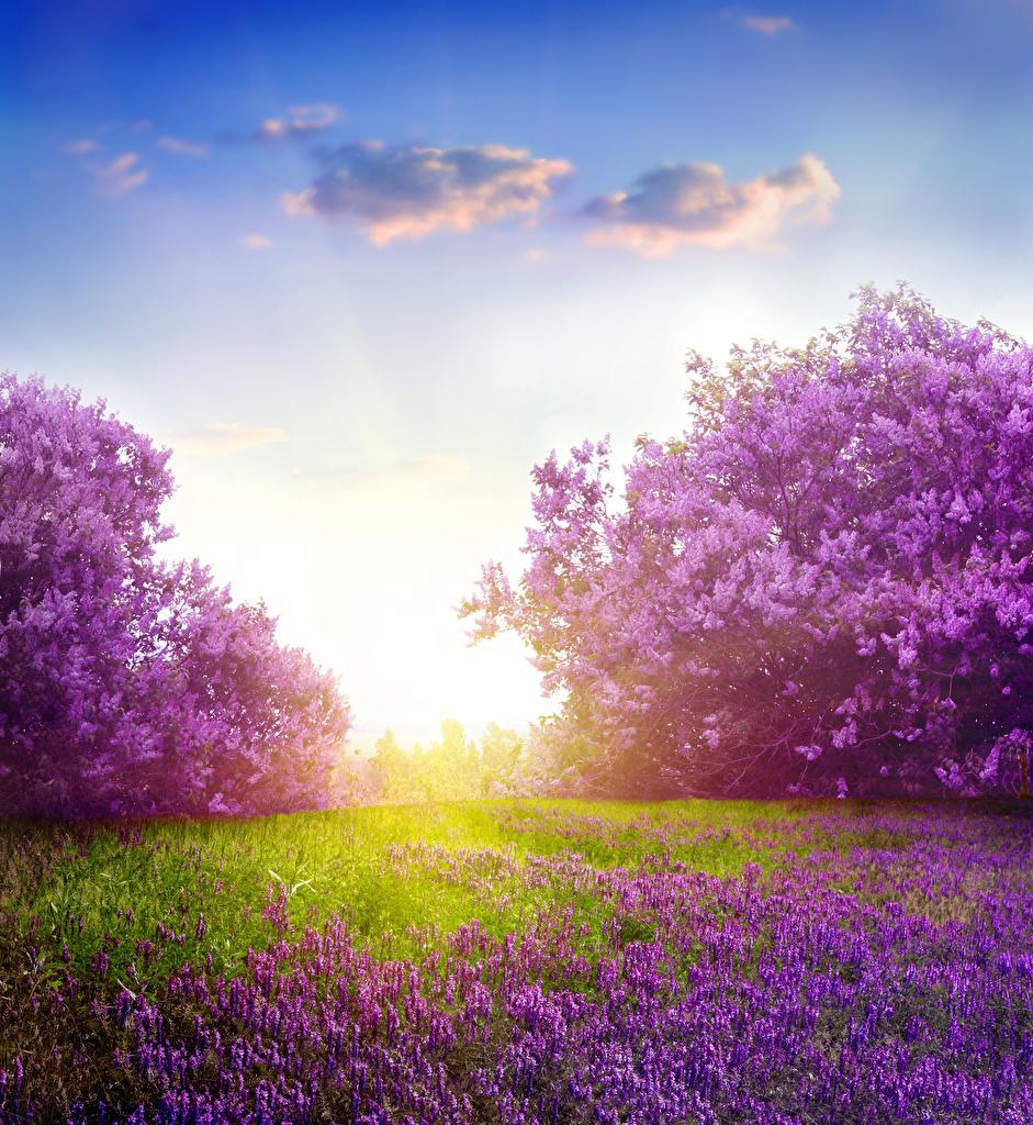 Картинка Цветы Сирень Лаванда цветок