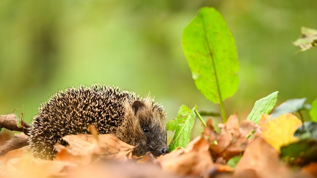 Фотография Ежики Листья Размытый фон Осень животное Ежи лист Листва боке осенние Животные