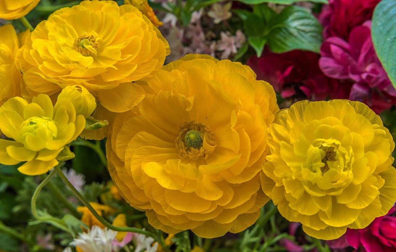 Фотографии Желтый Лютик цветок Крупным планом желтых желтые желтая Цветы вблизи