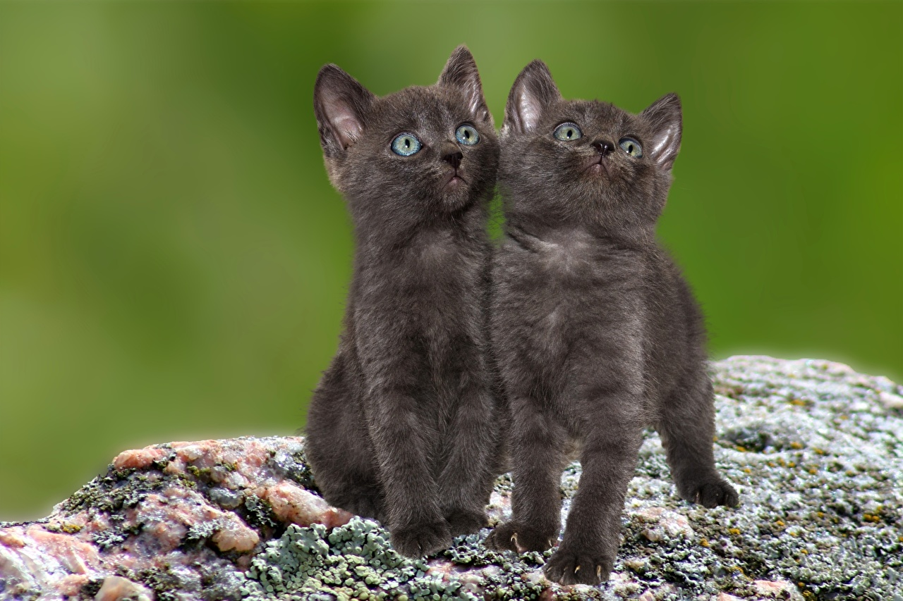 Обои Котята Коты Двое смотрит Животные Кошки 2 вдвоем Взгляд