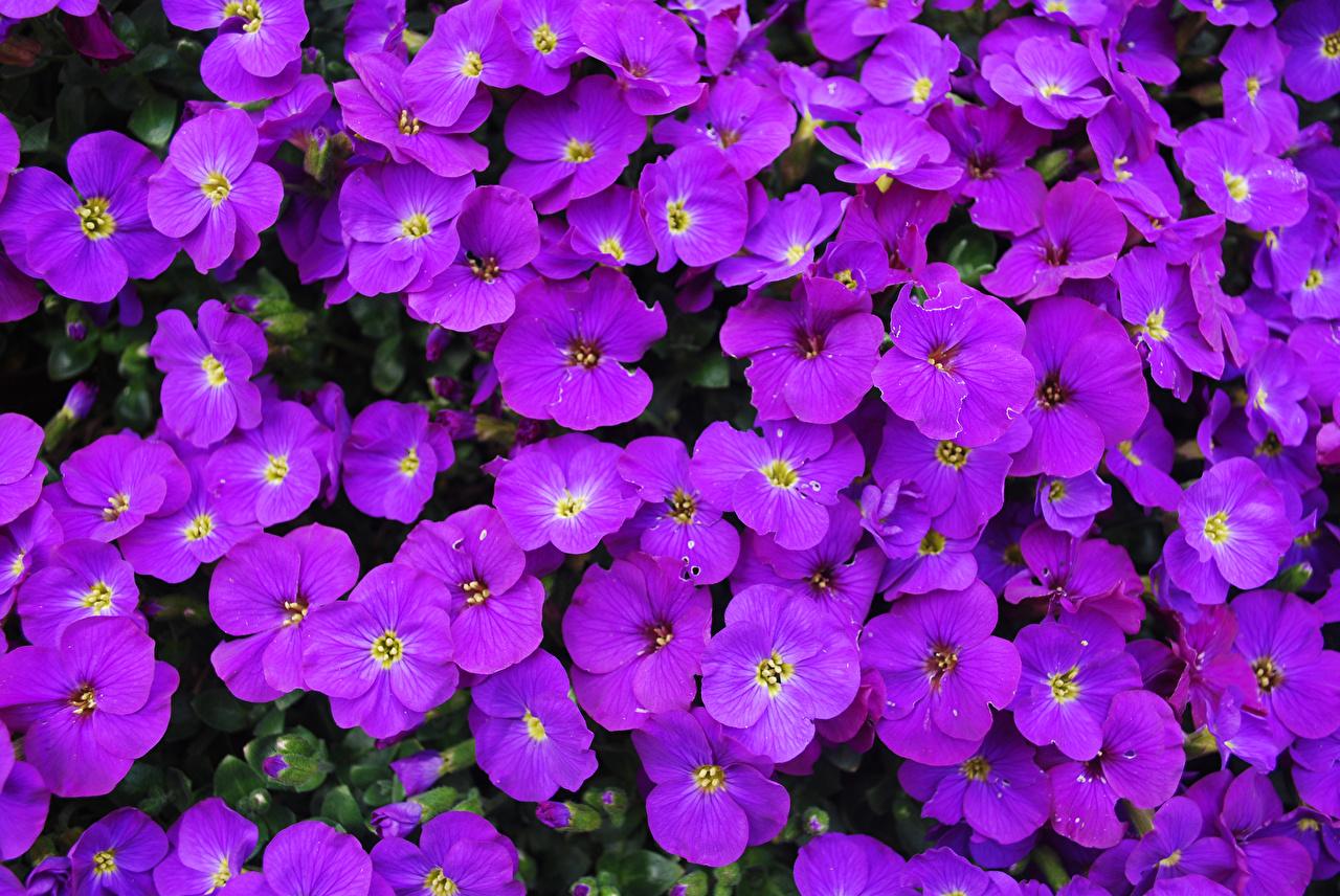 Картинка Aubretia Фиолетовый Цветы Много Крупным планом вблизи