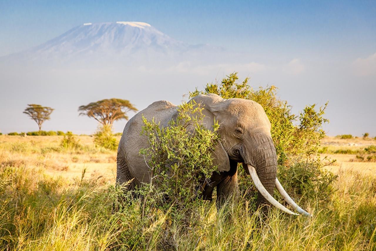 Картинка слон Африка траве животное Слоны Трава Животные