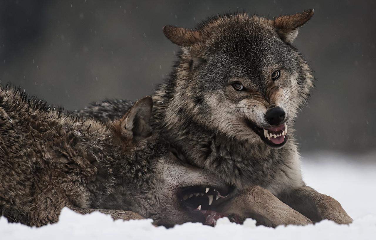 Фото Волки Клыки 2 Оскал Животные волк два две Двое вдвоем злой рычит злость животное