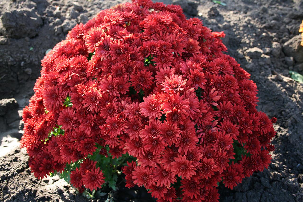 Обои для рабочего стола темно красный Цветы Хризантемы Много бордовая бордовые Бордовый цветок
