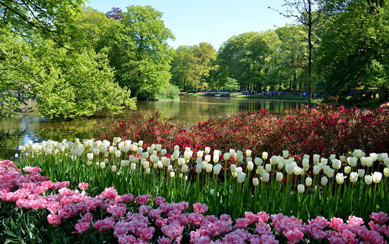 Картинка Нидерланды Keukenhof Lisse Природа Тюльпаны Пруд Парки Кусты