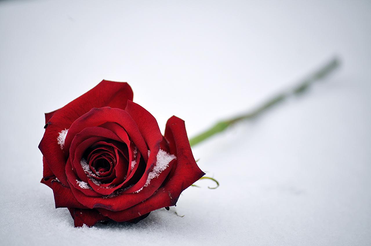 Обои для рабочего стола роза красная снегу цветок вблизи Розы красных Красный красные Снег Цветы снеге снега Крупным планом