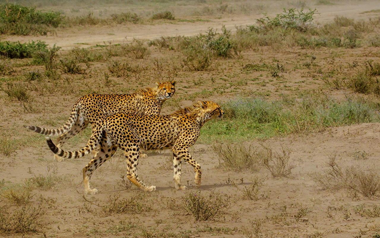 Обои для рабочего стола Гепарды Большие кошки вдвоем Трава животное гепард 2 два две Двое траве Животные