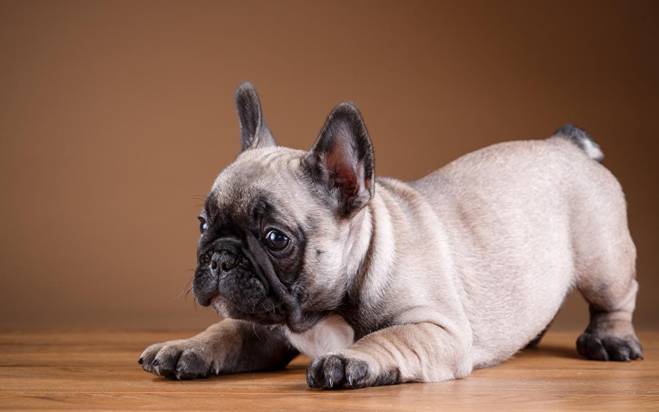 Обои для рабочего стола щенки Французский бульдог Собаки Животные Щенок щенка щенков собака животное