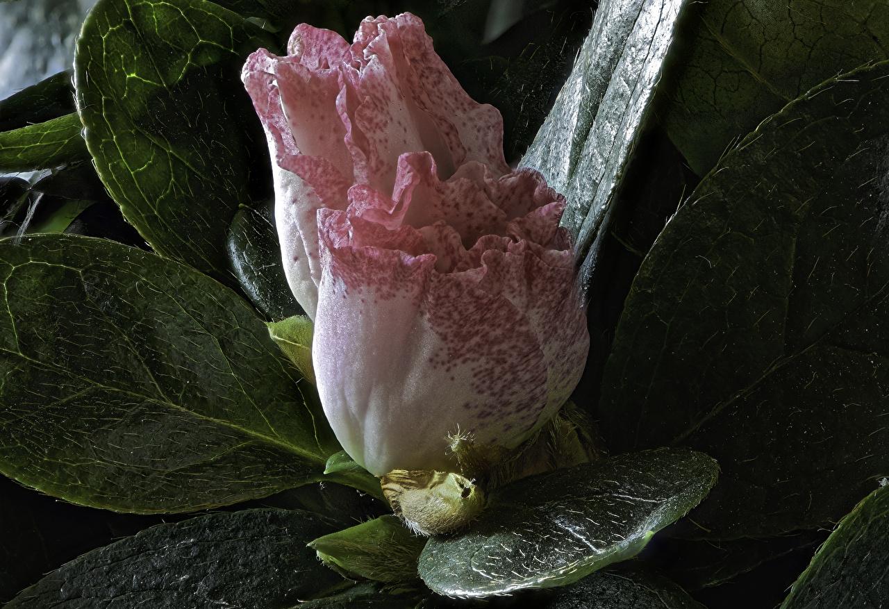 Фотографии две Цветы Рододендрон Крупным планом 2 два Двое вдвоем цветок вблизи