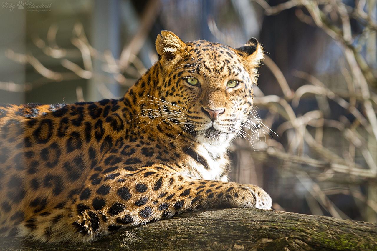 Фото Леопарды Большие кошки смотрят Животные леопард Взгляд смотрит животное