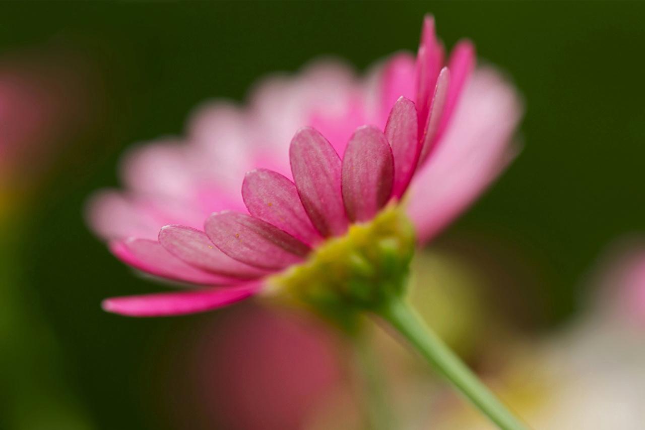 Фотографии гербера Цветы вблизи Герберы цветок Крупным планом