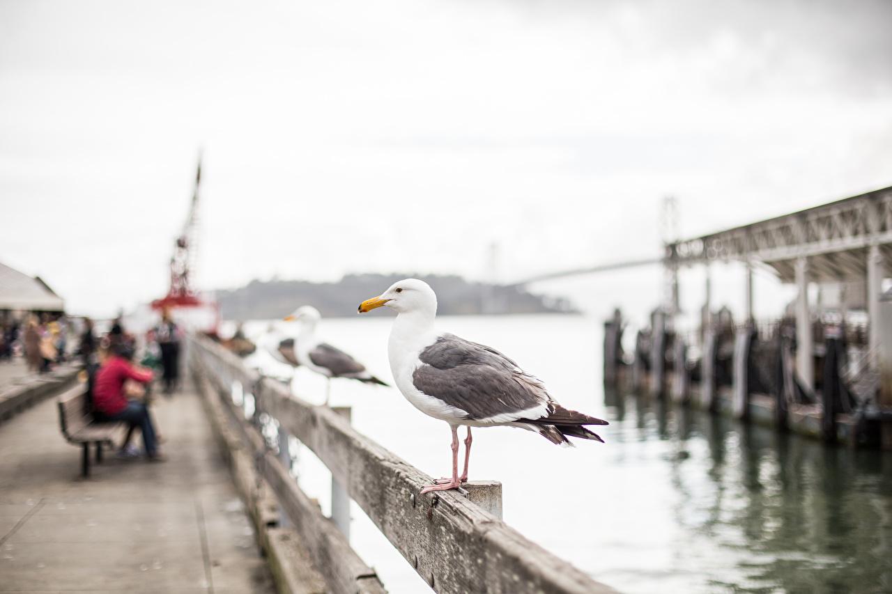 Картинки Сан-Франциско Птицы чайки штаты Размытый фон Набережная город птица Чайка США америка боке набережной Города