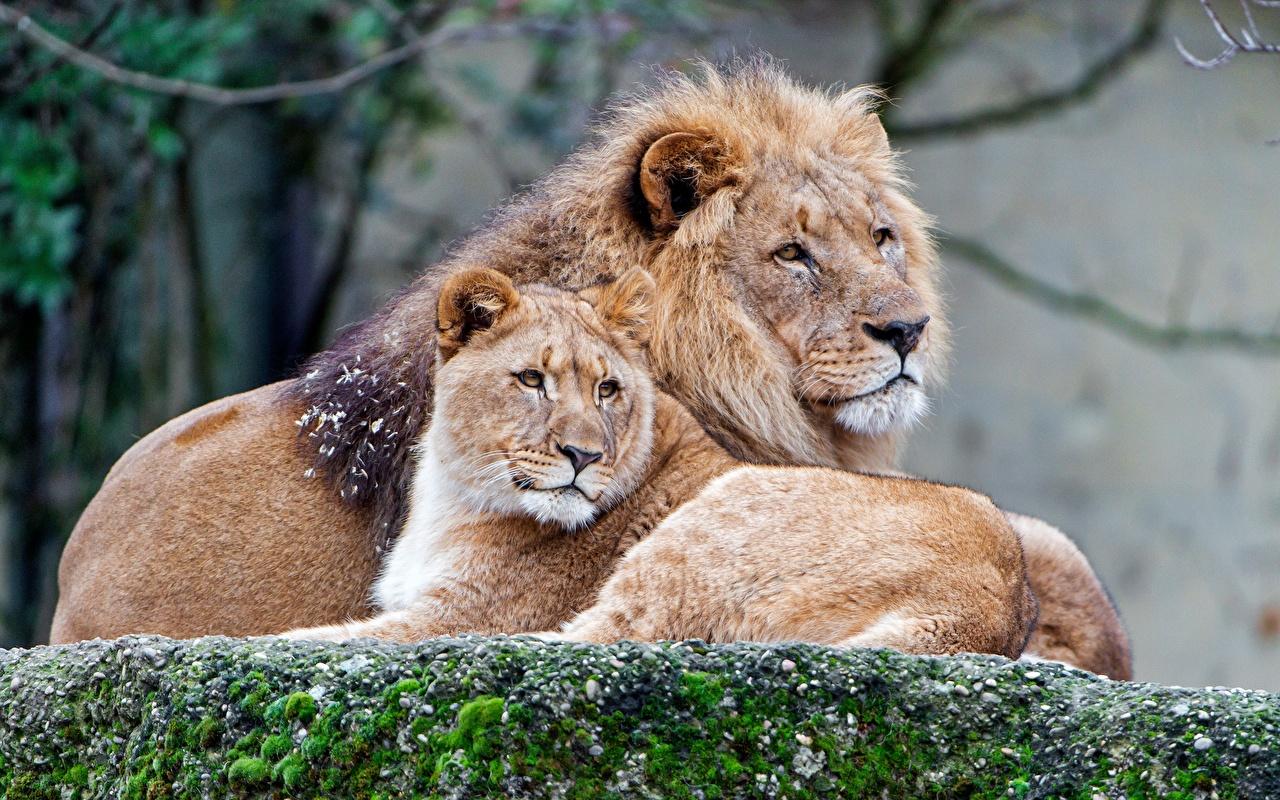 Фотография Львы Львица Животные